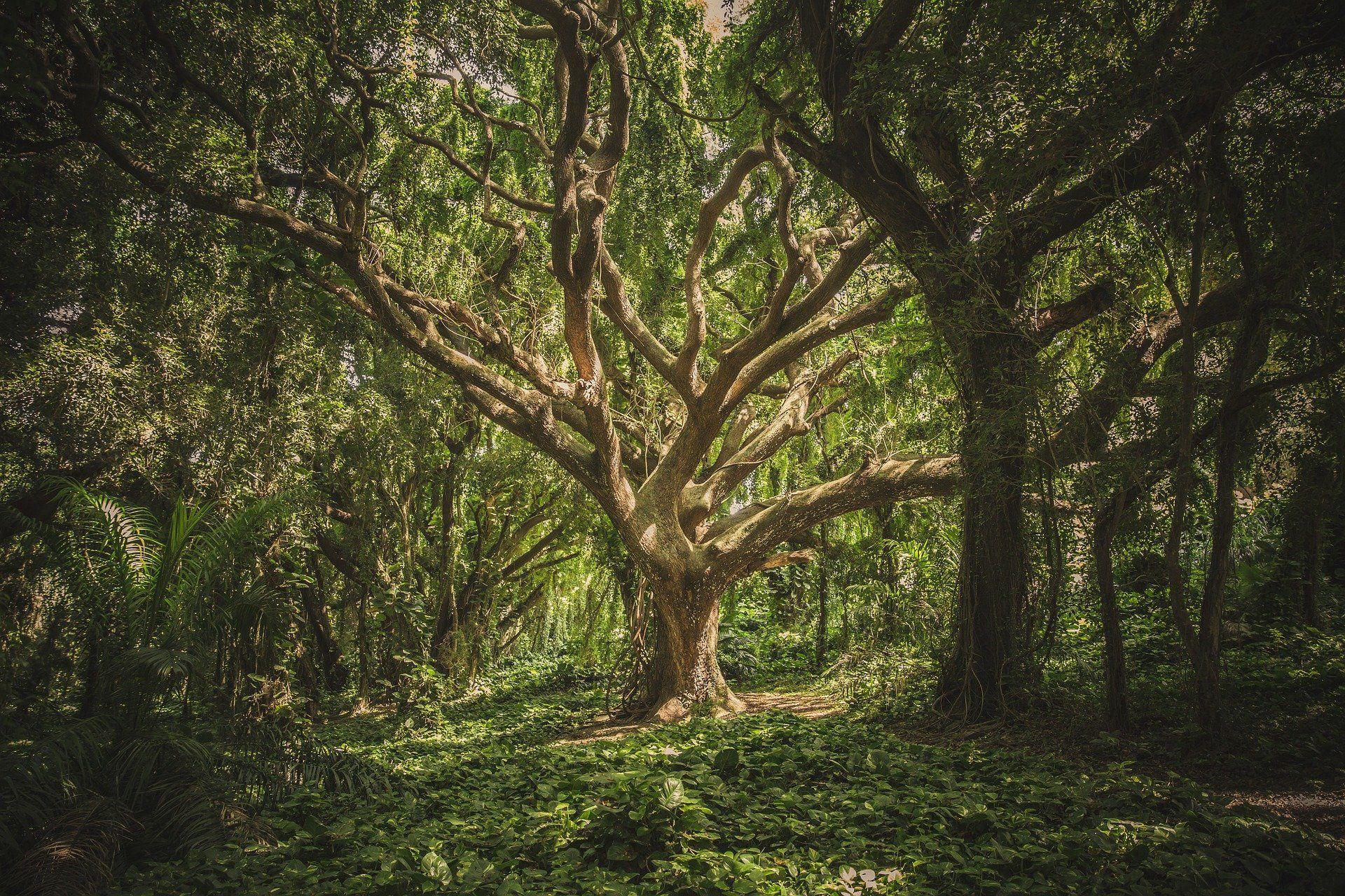 درخت قدیمی در جنگل